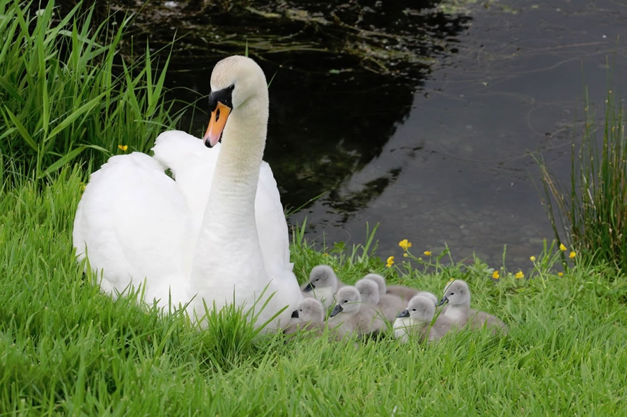 swan and cygnets at moffat