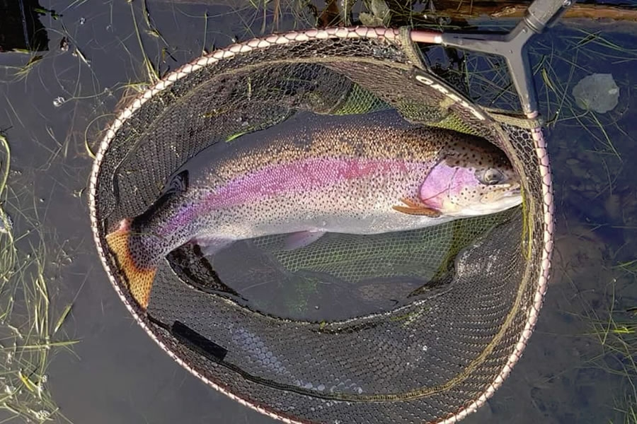 10lb rainbow trout caught at Moffat on a PTN