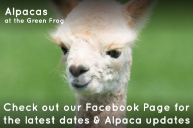 alpacas at the green frog moffat